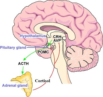 Hypothalamo–pituitary–adrenal_HPA_stress_axis.jpg