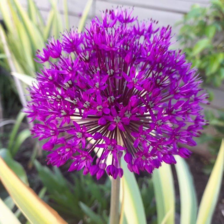 Allium3.jpg