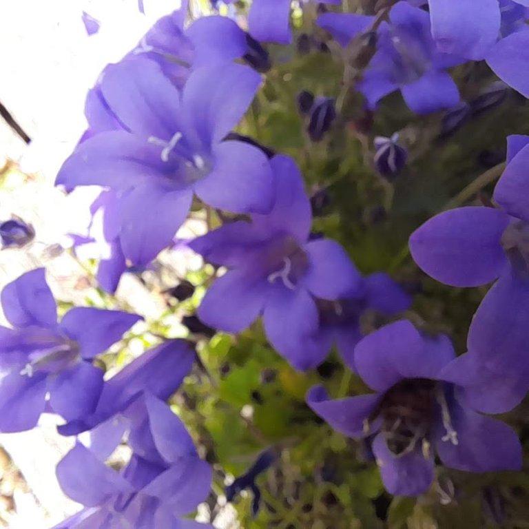 BlueFlowers2.jpg