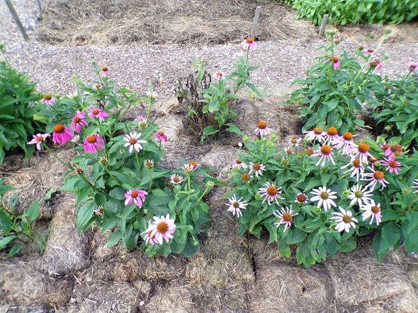 New Herb  Row 7, echinacea crop July 2020.jpg
