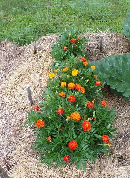New Herb  Row 1, marigolds crop July 2020.jpg