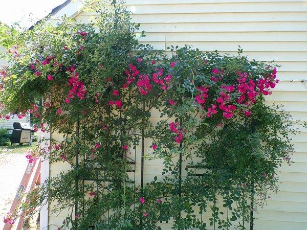 East Shed  7 Sisters rose crop June 2020.jpg