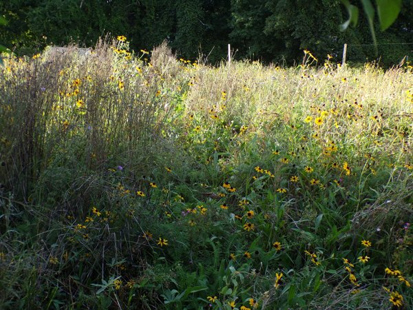 Wildflowers in evening sun crop August 2020.jpg