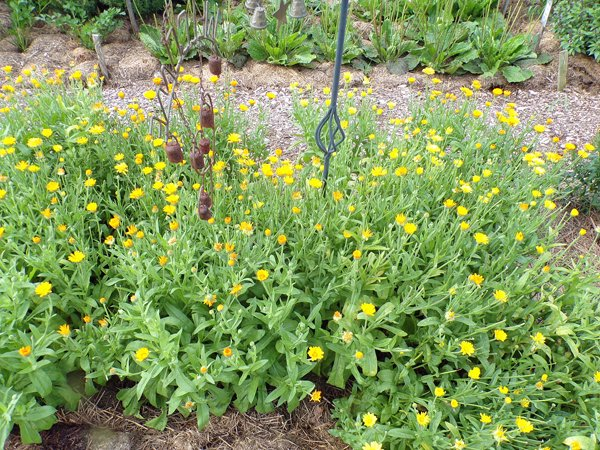 New Herb  Row 6, calendula crop July 2020.jpg