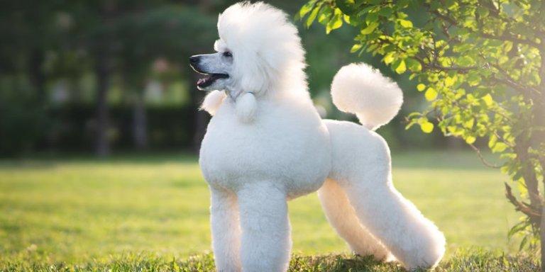 purina-brand-que-sabes-de-los-perros-poodle.jpg