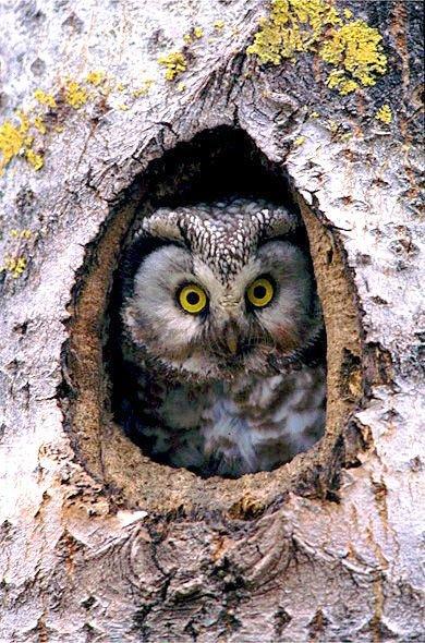 boreal_owl_aegolius_funereus_funereus_.jpg