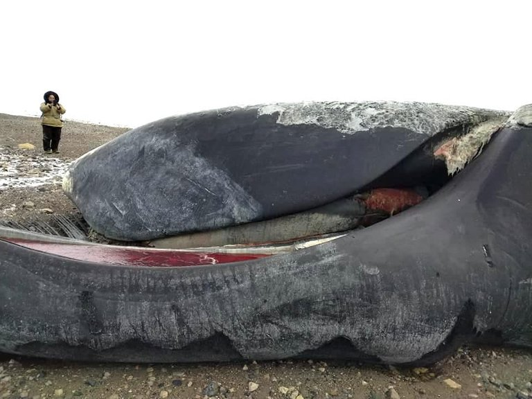 This is one of four dead bowhead whales found beached about 60 kilometres north of Kugaaruk by a group of hunters. Fisheries and Oceans Canada is investigating what caused the deaths. (Photo by Rene Kukkuvak)