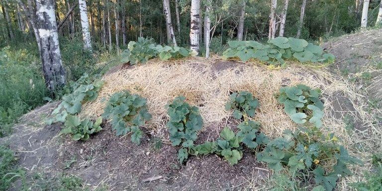Hugel after planting.JPG