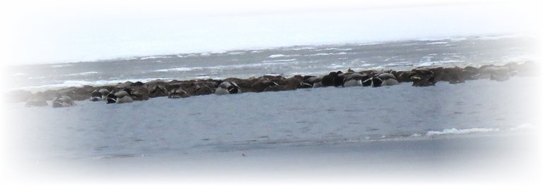 large band of ducks huddled together resting on icy water.JPG