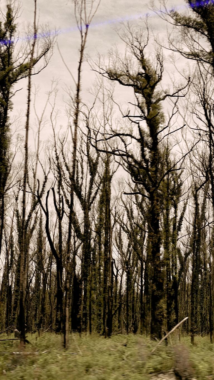 bushfire regen3.png