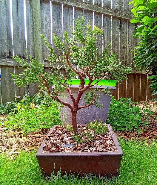 Arborvitae Developing Thicker Growth In Summer Bonsai Peakd