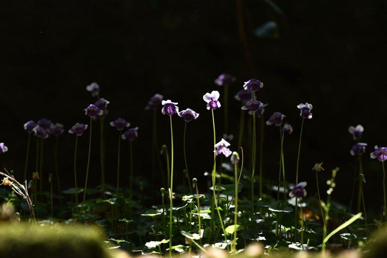 Viola hederacea violet 5.jpg