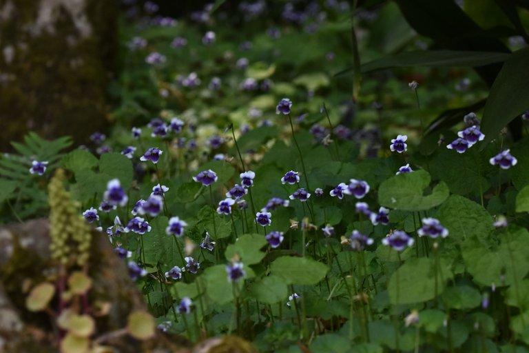 Viola hederacea violet 6.jpg