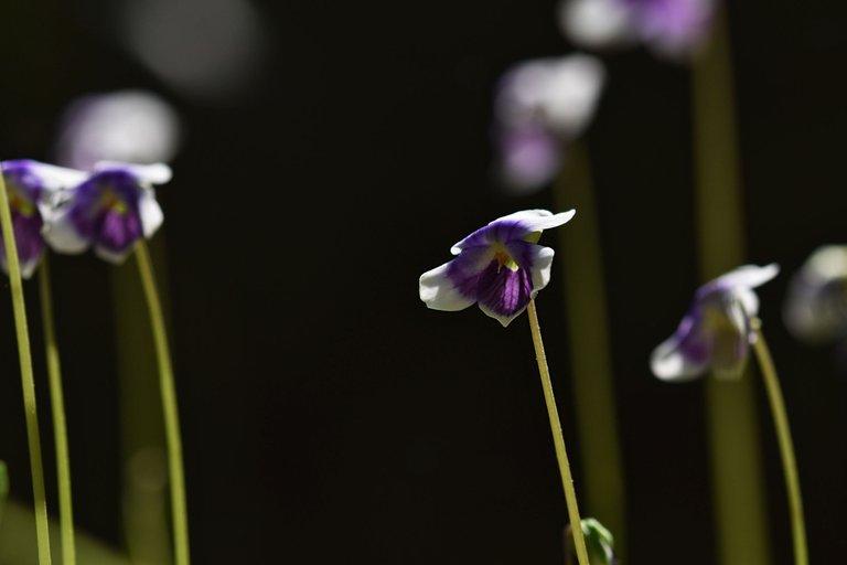 Viola hederacea violet 3.jpg