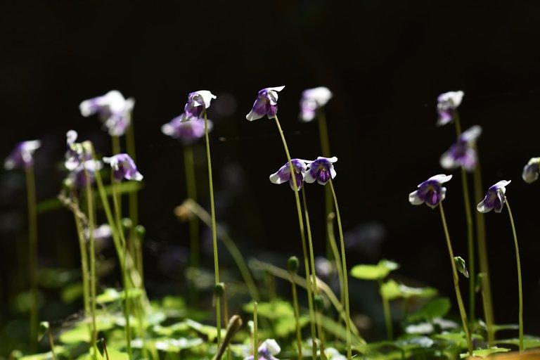 Viola hederacea violet 2.jpg