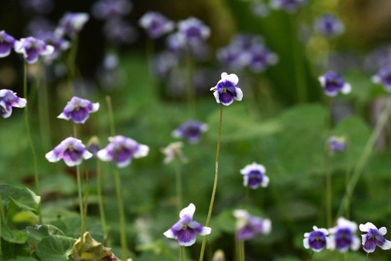 Viola hederacea violet 9.jpg