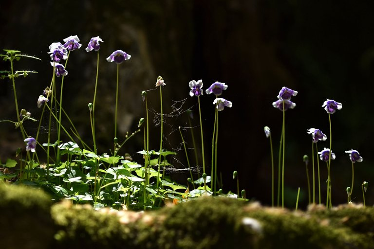 Viola hederacea violet 4.jpg