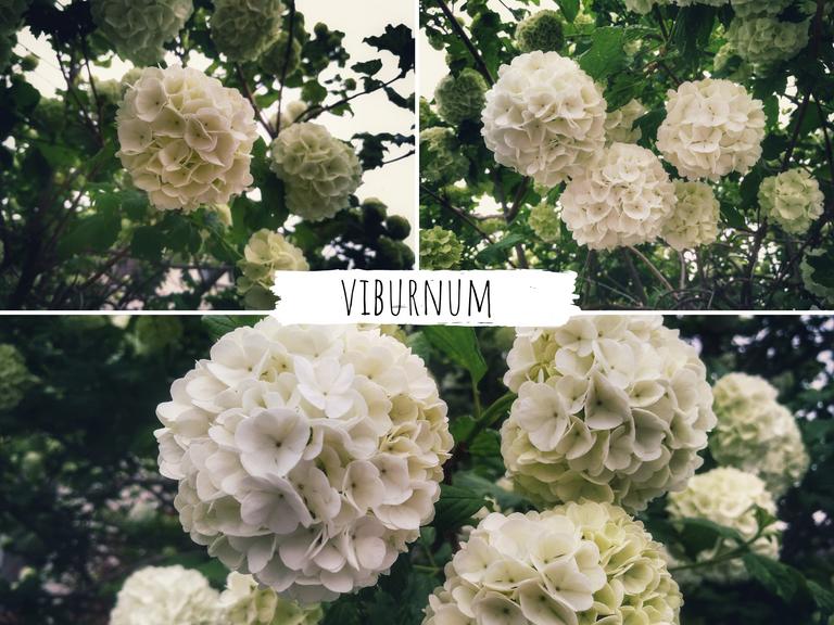 viburnum.png