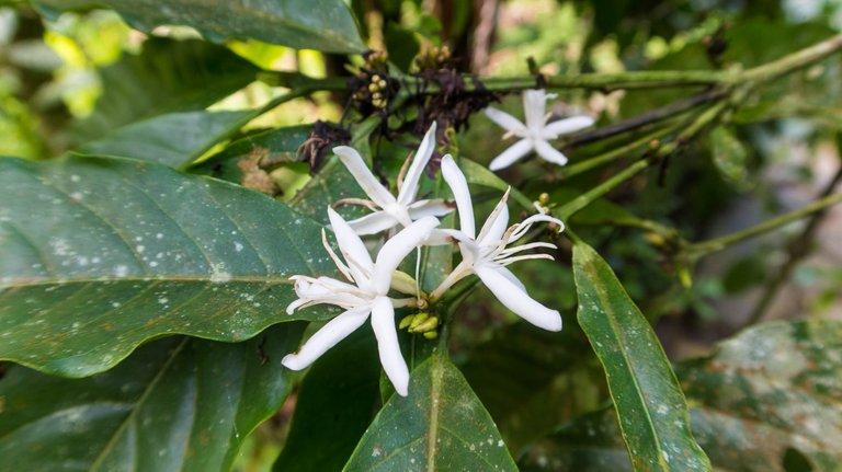 Coffee flowers.