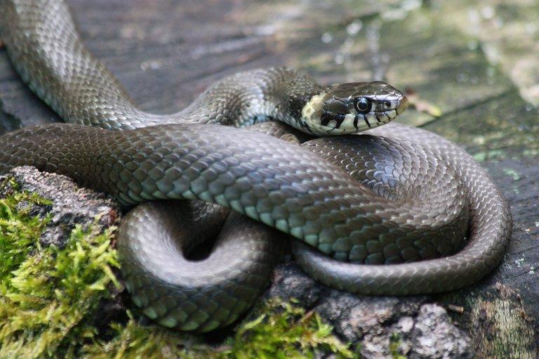 grass-snake-827057_1280.jpg