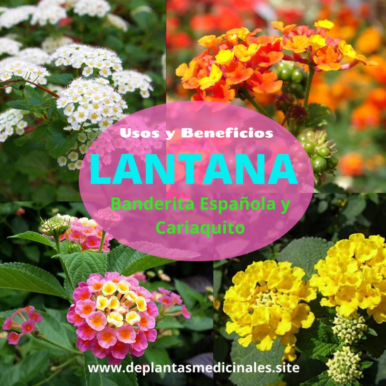 Lantana- Bandera española, cinco negritos y Cariaquito
