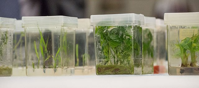 Plant tissue cultures being grown at a USDA seed bank, the National Center for Genetic Resources Preservation.