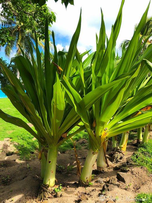 plant huahine.jpg