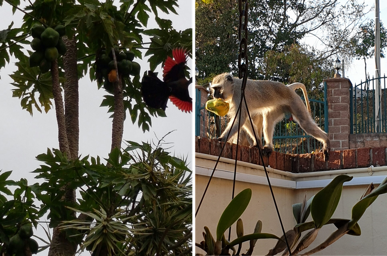 Loerie Monkey.png