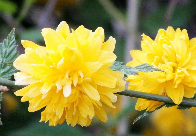 0980-YellowRose.jpg