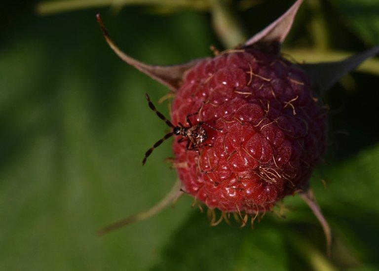 Coreus marginatus raspberry bug 12.jpg