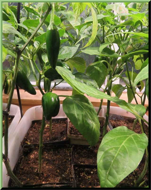 peppers growing on pepper plants.JPG