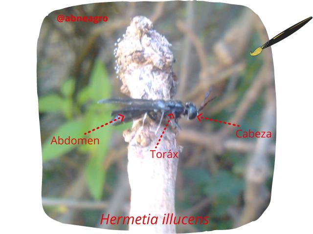 Diptera partes 1.png