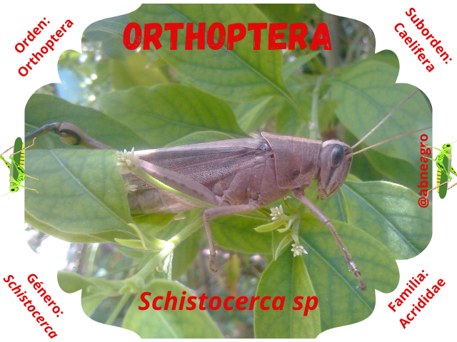 Orthoptera portada.png