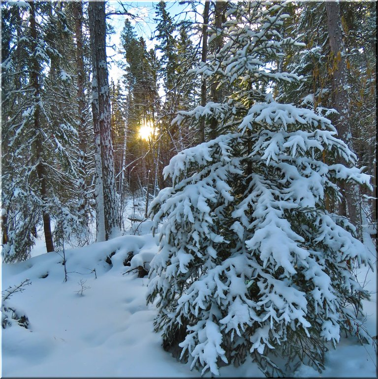 snow covered spruce tree with sun rising thru black spruce in the background.JPG
