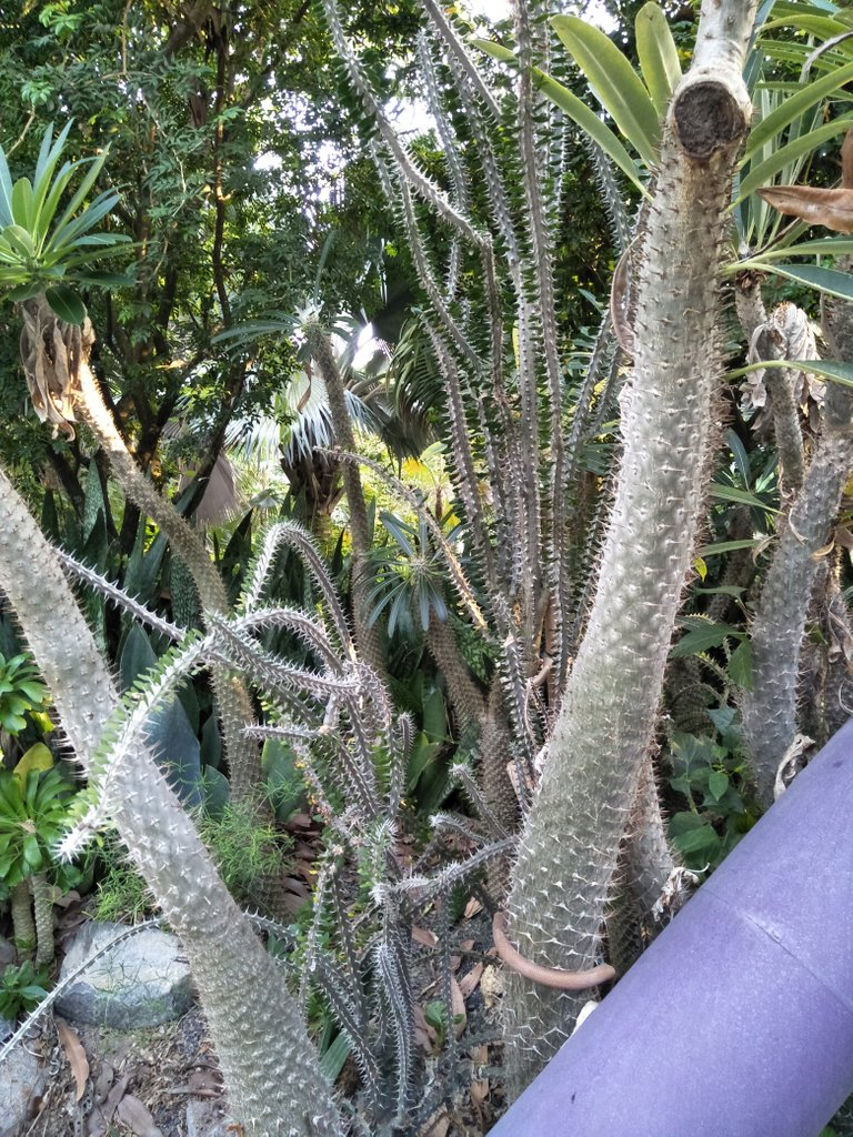 9 madagascar palm 0a.jpg