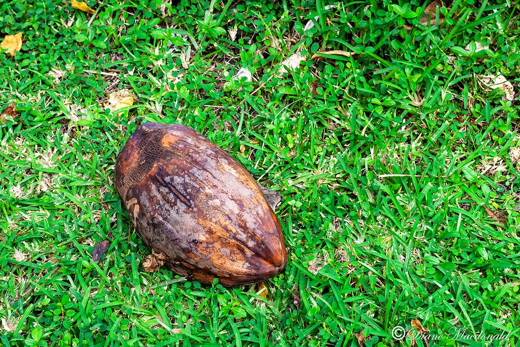 fallen coconut huahine.jpg