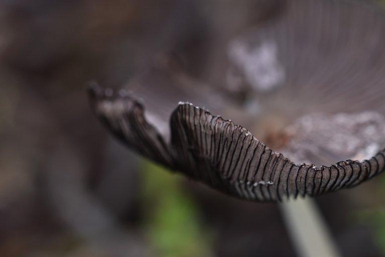 Mushroom hat gills 1.jpg