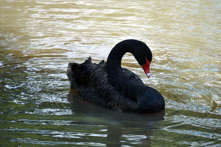 black-swan-4198513_960_720.jpg