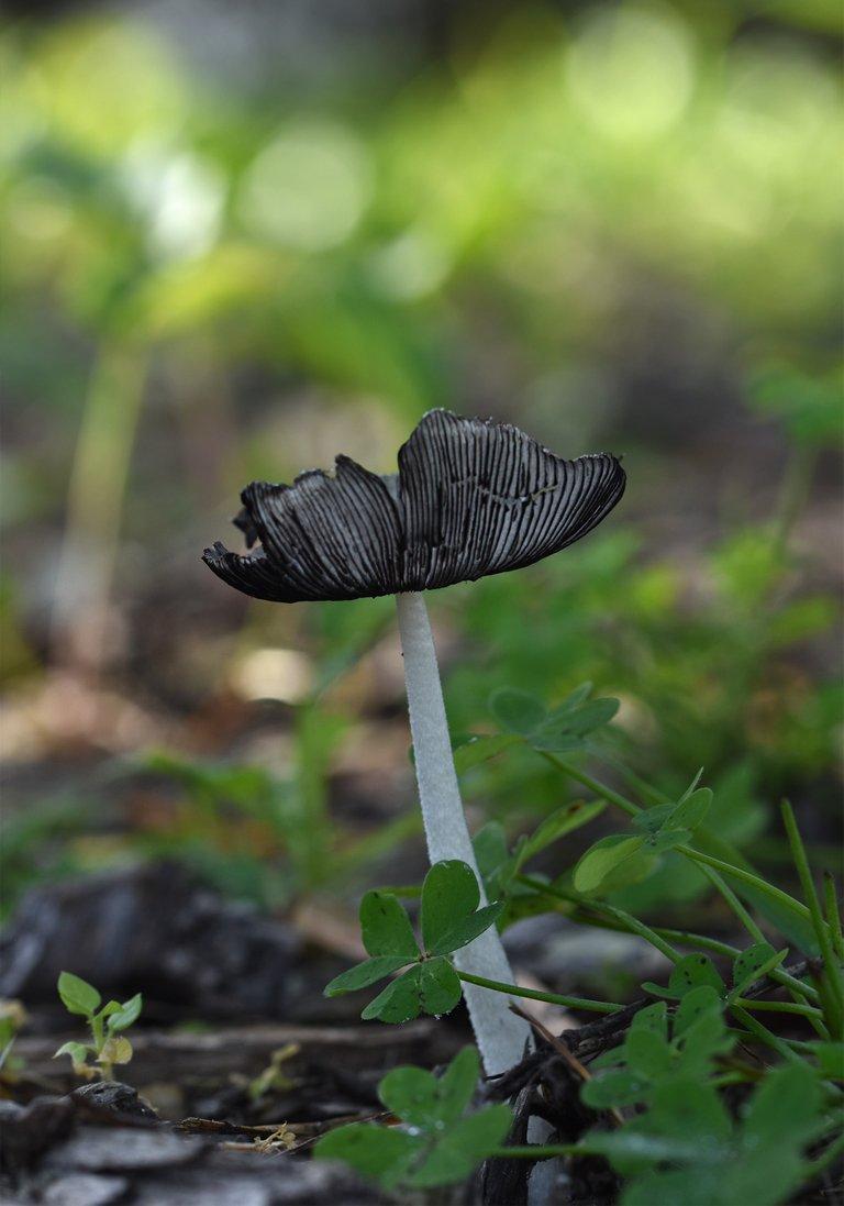 Mushroom hat gills 4.jpg