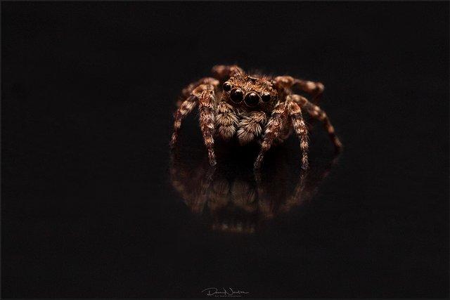 Jumping Spider  attulus pubescens7559PP.jpg