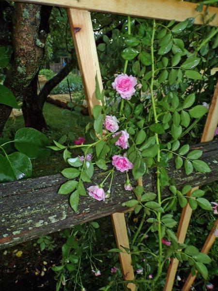 Climbing rose flowers crop June 2020.jpg