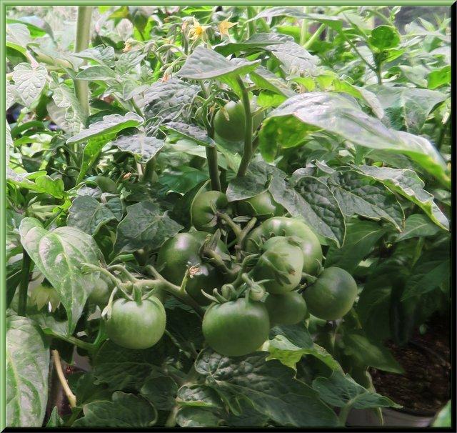 Tiny Tim tomatoes getting big still green.JPG