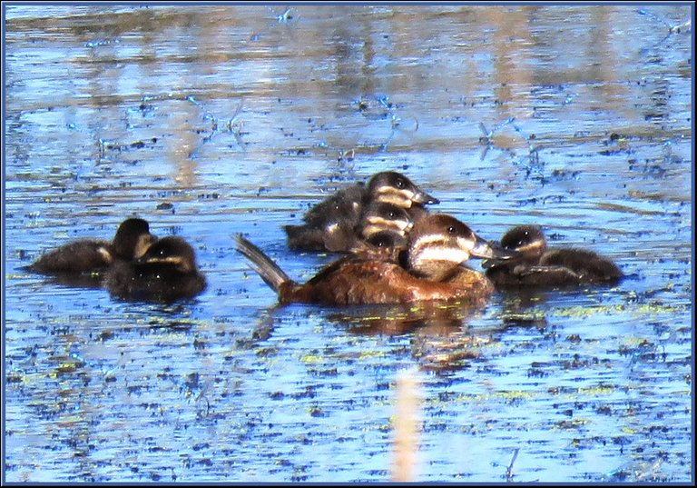 close up female ruddy duck with ducklings.JPG