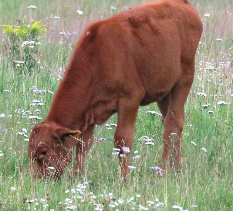 young calf grazing among the wild flowers.JPG