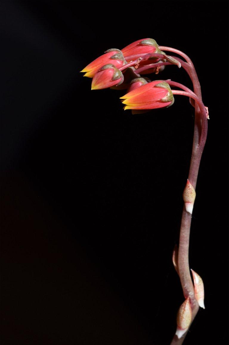 echeveria purpusorum flower.jpg