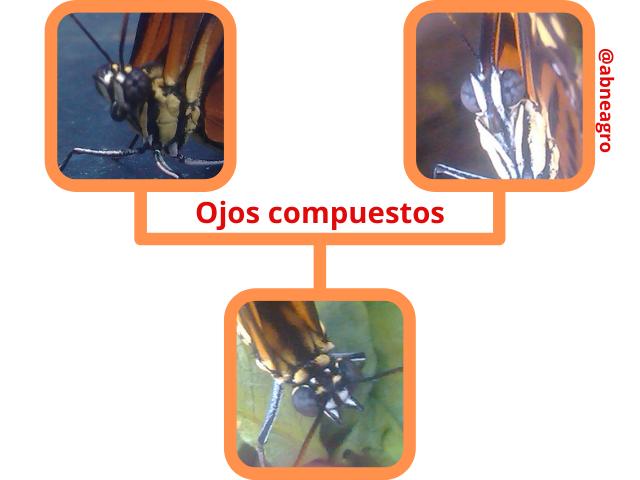 Lepidoptera ojos compuestos.png