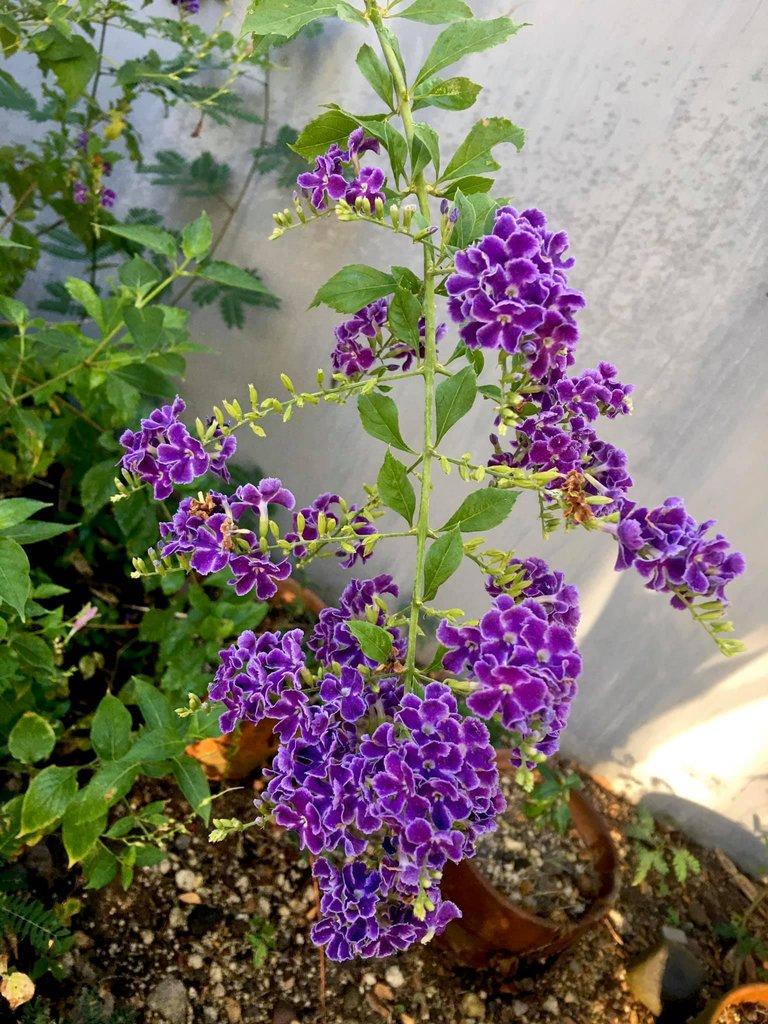 flowers duranta with leah.jpg