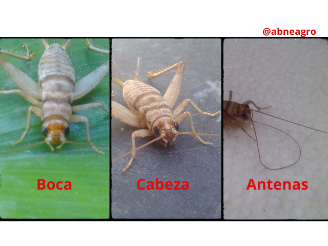 Orden Orthoptera partes 2.png