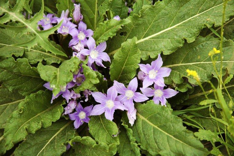 mandrágora-planta-1024x683.jpg