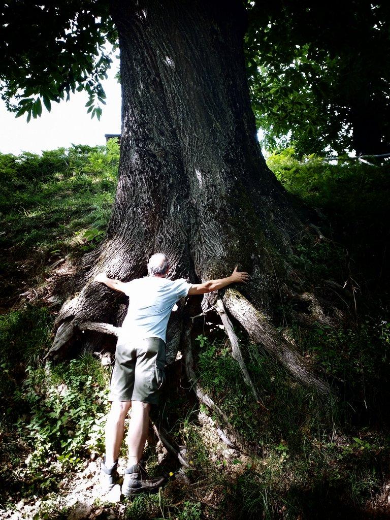A So Big Chestnut Tree